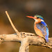 "Malachite Kingfisher, Zambia • <a style=""font-size:0.8em;"" href=""https://www.flickr.com/photos/21540187@N07/8293294997/"" target=""_blank"">View on Flickr</a>"