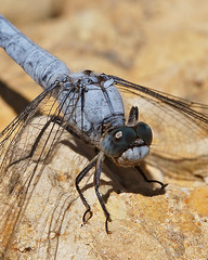 Orthetrum brunneum - Zuidelijke oeverlibel (henk.wallays) Tags: france macro nature up insect close dragonflies dragonfly wildlife odonata libel libelulle odonate orthetrum zuidelijke rousson oeverlibel brunneum roussondag8rivier