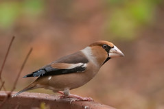 Frosone - Coccothraustes coccothraustes - Hawfinch (vieri bertola) Tags: uccelli frosone