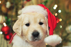 Merry Christmas !! (.:: Maya ::.) Tags: santa christmas dog hat puppy golden berry retriever days rila merry 35 mayaeye mayakarkalicheva маякъркаличева