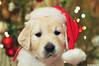 Merry Christmas !! (.:: Maya ::.) Tags: santa christmas dog hat puppy golden berry retriever days rila merry 35 mayaeye mayakarkalicheva маякъркаличева