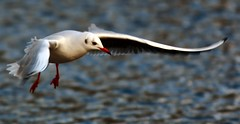 J77A1645 -- Black-headed Gull about to land (Nils Axel Braathen -- Thanks a lot for +200K views) Tags: france nature birds canon wildlife fugler oiseaux blackheadedgull levsinet mouetterieuse hettemke vogeln chroicocephalusridibundus mygearandme rememberthatmomentlevel4 rememberthatmomentlevel1 magicmomentsinyourlife rememberthatmomentlevel2 rememberthatmomentlevel3 rememberthatmomentlevel7 rememberthatmomentlevel9 rememberthatmomentlevel5 rememberthatmomentlevel6 rememberthatmomentlevel8 besteverdigitalphotography