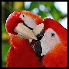 Kissing (Stella Blu) Tags: red two bird mexico kissing squareformat caribbean thumbsup macaw parrots quintanaroo twothumbsup gamewinner nikkor18200 stellablu thumbwrestler duetos 15challengeswinner thechallengefactory nikond5000 gamex2winner herowinner ultraherowinner storybookwinner pregamesweepwinner storybookttwwinner pregameduelwinner