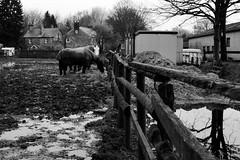 Ceffylau, Pontcanna (Rhisiart Hincks) Tags: duagwyn zwartwit gwennhadu blackwhite zuribeltz blancetnoir monochrome unlliw shwarzweiss cardiff caerdydd kembra wales cymru kembre gales galles 威爾斯 威尔士 wallis uels kimrio valbretland 웨일즈 велс gallas walia เวลส์ ceffylau horses ceffyl kezeg kazeg zaldi zaldiak cheval chevaux each eich mwd llaid fank mud gaeaf negu goañv gouañv hiver winter geamhradh horse cabbyl ló hoiho zirgs arklys cavallo caballo pferd лошадь فرس hobune hest kůň άλογο capall dubhagusgeal dubhagusbán czarnobiałe blancinegre