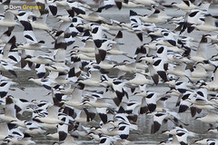 Avocet Snowstorm (Dom Greves) Tags: uk winter bird december wildlife flock flight dorset purbeck wetland avocet recurvirostraavosetta pooleharbour