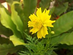 yellow cosmos (som300) Tags: cosmos flower plant motorola zn5
