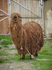 "Andean ""Rasta"" Llama"