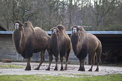 Bactrian camels (Missud) Tags: winter animal animals canon zoo tiere december camel aachen dezember tierpark tiergarten tier kamel 2012 bactriancamel trampeltier eos500d canoneos500d zweihckrigeskamel euregiozooaachen lasttripoftheyear cherzoo