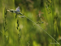 It's my World (photosenvrac) Tags: macro nature grass butterfly bokeh papillon herbe thierryduchamp