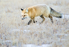 Fox on the prowl (Deby Dixon) Tags: winter tourism nature photography nationalpark travels wildlife fox yellowstonenationalpark yellowstone wyoming redfox debydixonphotography