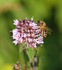 A honey bee working on a Water Mint. (Bienenwabe) Tags: flower macro insect mint bee honeybee biene watermint apis lamiaceae mentha minze honigbiene menthaaquatica apismelifera wasserminze mygearandme photographyforrecreation