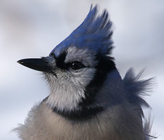 Wind Blown Blue Jay (nature55) Tags: blue bird wind aves bluejay windblown explore1 nature55 jaynegulbrand