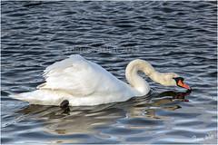Swanning around (AshTree25) Tags: 2 lake water swan waterbird 113picturesin2013 abirdonwater
