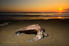DLF_6524 (Don Filipiak) Tags: beach nature costarica baru cheloniamydas herps dominical greenseaturtle multiflash herping herpphotography nikonwideangle nikond7000 nikon1024mm nikonwildlife nikonsb700