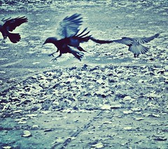 Scatter (liquidnight) Tags: instagram camera nikon d90 animals wildlife urbanwildlife portland pdx oregon laurelhurst birds birding birdwatching crows corvid corvusbrachyrhynchos blue cyanotype monochrome filter winter sidewalk pavement street road wings fly flight movement motion action scatter leave disperse depart blurry feathers pinions