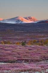 Fall Colours at Fokstumyra, Dovre (Trond Strmme) Tags: mountain fall sunrise moss heather dovre ling hst dovrefjell myr lyng sigma100300f4exdghsm fokstumyra