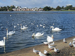 Poole Park (Misty Jane) Tags: park water swan pond seagull feathers poole bej