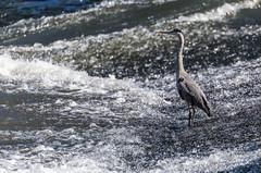 Mon voisin le hron ... My neighbor heron ... (Emmanuel Cattier -) Tags: france bird heron eau europa europe rivire strasbourg alsace animaux continent oiseau lieux hron rapide plante basrhin borddelill lerepasduhron