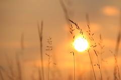 Goldene Grser (janakintrup) Tags: outdoor sonnenuntergang sunset sonne sonnenschein rot gelb gold orange gegenlicht gras grser wiese canon abendsonne abendlicht stillleben pflanze abendstimmung natur