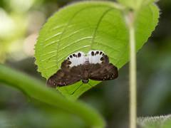 Tagiades cohaerens cinda (Evan's Snow Flat) - Pyrginae (Green Baron Pro) Tags: butterfly lj malaysia raub hesperiidae pyrginae 201607 raubll