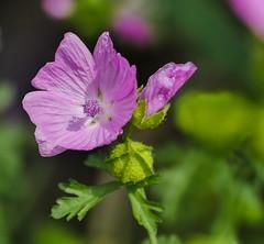 Lavatera. (lincolnsara69) Tags: mallow lavatera flower