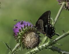 Butterfly_SAF1306 (sara97) Tags: butterfly copyright2016saraannefinke flyinginsect insect loneelkpark missouri nature outdoors photobysaraannefinke pollinator saintlouis