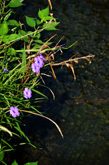 River Bank Flower (pokoroto) Tags: river bank flower fukuoka   kyushu  japan 8   hachigatsu hazuki leafmonth 2016 28 summer august