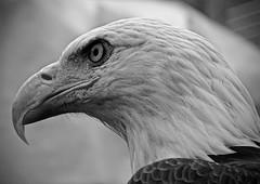 Bold (Scott M. Mohn) Tags: blackandwhite eagle raptor predator bird wildlife beak eyes portrait minnesotastatefair closeup nature sonydschx400v animal monochrome