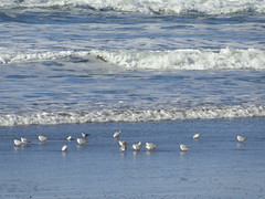 Ocean Beach (DorisFM) Tags: aves birds playa beach invierno winter oceanbeach sanfrancisco california usa
