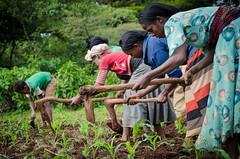 Agronomic practice on maize (isfm ethiopia) Tags: 2016 oromia bedele improved agronomy