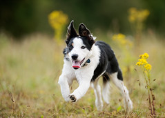 'Cai Goes High' (Jonathan Casey) Tags: puppy border collie jumping running nikon d810 200mm f2 vr