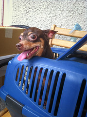 zoey (horsoon) Tags: dog zoey pinscher