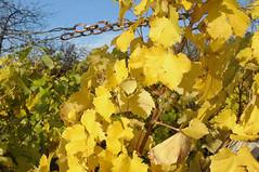 Herbstblatter Wein CL1 (reinhard_srb) Tags: weigerten herbst farbe bltter trauben ernte rebe winzer lese maische weinstock gelb kette himmel blau