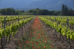 Du bouquet ... * (Titole) Tags: vignes vineyard poppies vanishingpoint provence titole nicolefaton trets friendlychallenges 15challengeswinner