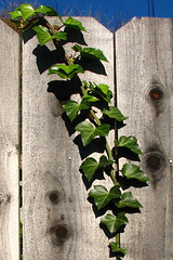 curving ivy branch (lisafree54) Tags: curve curved curving ivy leaves branch vine fence knothole knotholes green gray plant nature free freephotos cco