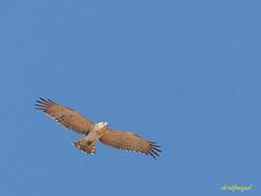 Joven de Culebrera europea (Circaetus gallicus) (4) (eb3alfmiguel) Tags: aves rapaces diurnas culebrera europea
