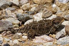 Lagarto cornudo (antonio.reyes) Tags: lagarto camalen reptil reptile lizard