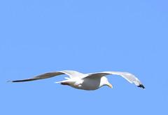 DSC_2703 (PeaTJay) Tags: nikond750 tamron reading lowerearley berkshire outdoors birds birdsofprey gull gulls