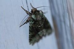moth (f.tyrrell717) Tags: moth macro bug black whit green