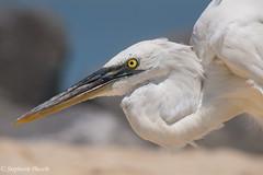 Great White Heron, or Great Blue Heron (White Form) (stephaniepluscht) Tags: alabama 2016 dauphin island closeup great white heron blue form ardea herodius occidentalis