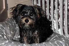 Flo Yorkie Poo Puppy Drying at Home After The Bank Holiday Weekend Storm (@oakhamuk) Tags: flo yorkiepoo puppy drying home after the bankholiday weekend storm martinbrookes oakham rutland