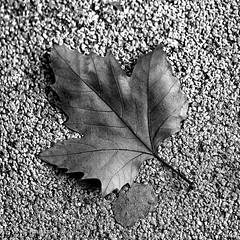 Otoño (raperol) Tags: airelibre blancoynegro bn hoja otoño detalle canon 5dsr