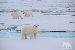 Polar Bears (fascinationwildlife) Tags: animal mammal polar bear predator snow ice drift north nature natur norway arctic sea summer wild wildlife br eisbr male spitzbergen spitsbergen
