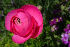 Ranunculus / Buttercups (dgardenia) Tags: rose flower macro outdoor garden nature springbulbs insect bee jasmine iris camellia ranunculus potplant