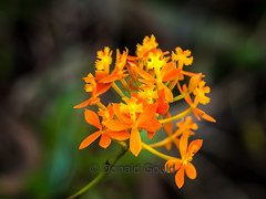 Crucifix Orchid_161003_20314 (Donald Go) Tags: nature plants crucifix orchid flower