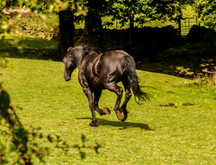 galloping black beauty (PDKImages) Tags: horse equine beauty black gallop movement animal run sleek blackbeauty yorkshire
