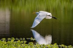 Tap (brev99) Tags: egret birdinflight bif bird white reflection wing nikviveza tamron70300vc d7100 pond water nikoutputsharpener highqualityanimals ngc