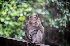 Maquaqe at Ubud monkey forest (Tim&Elisa) Tags: bali indonesia asia canon maquaqe monkey monkeyforest ubud ubudmonkeyforest animal