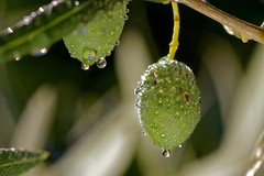 droplets on olives IMG_0351 (Ludo_M) Tags: goutte drop droplets olives olive nature ef100mmf28lmacroisusm canon eos 7d canoneos7d