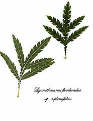 E20160923-0003Lyonothamnus floribundus ssp. aspleniifoliusRPBG (John Rusk) Tags: taxonomy:kingdom=plantae plantae taxonomy:superphylum=tracheophyta tracheophyta taxonomy:phylum=magnoliophyta magnoliophyta taxonomy:class=magnoliopsida magnoliopsida taxonomy:order=rosales rosales taxonomy:family=rosaceae rosaceae taxonomy:genus=lyonothamnus lyonothamnus taxonomy:species=floribundus taxonomy:binomial=lyonothamnusfloribundus taxonomy:trinomial=lyonothamnusfloribundusaspleniifolius lyonothamnusfloribundusaspleniifolius santacruzislandironwood taxonomy:common=santacruzislandironwood